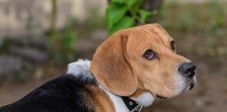 storia del beagle