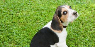 nome beagle