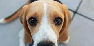 alimentazione beagle
