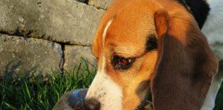 ciotole beagle