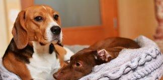 cuccia beagle